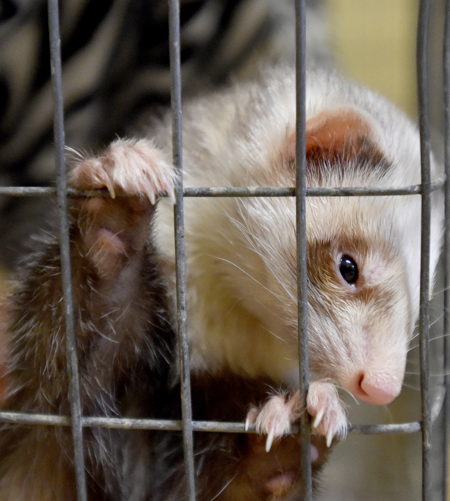 A ferret inspects the room that he and his other ferret friend now live in at the Humane Society Waterville Area on Webb Road in Waterville on Wednesday. The ferrets were among 33 animals surrendered by a Clinton family this week.
