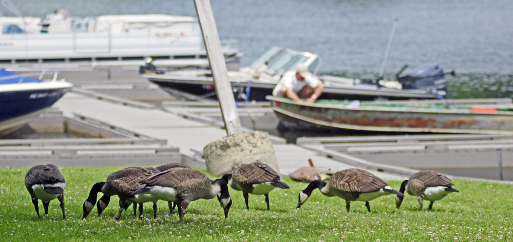Geese browse in the grass by the boat launch July 5 along the shore of Maranacook Lake at Norcross Point in Winthrop, where town officials are trying to find a way to get the geese to relocate.