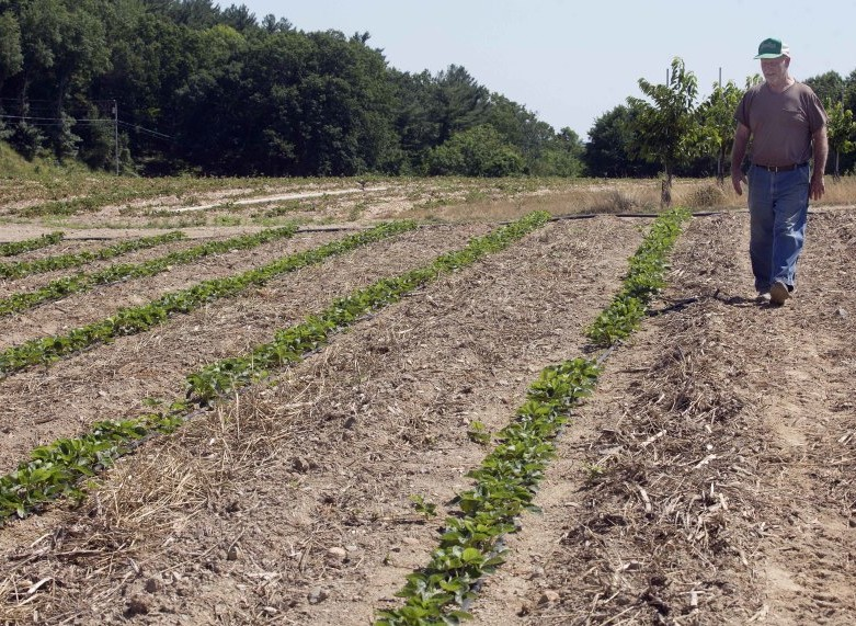 Farmer John Lavoie walks through a drying strawberry patch in Hollis, N.H., Thursday. Parts of the Northeast are in the grips of a drought that has led to water restrictions, wrought havoc on gardens and raised concerns among farmers.