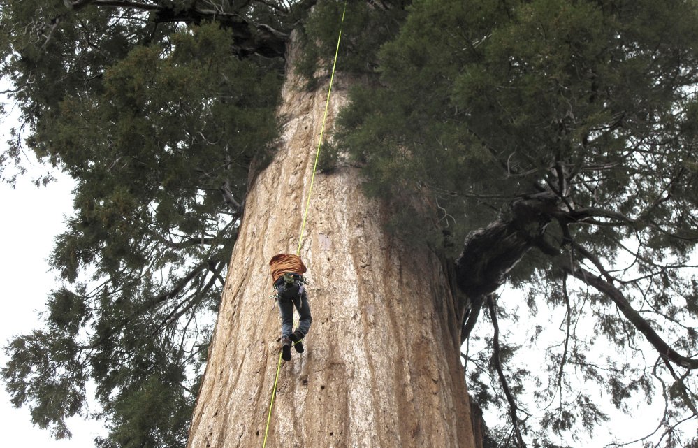 Arborist Jim Clark inches up a giant sequoia to collect new growth from its canopy near Camp Nelson, Calif.