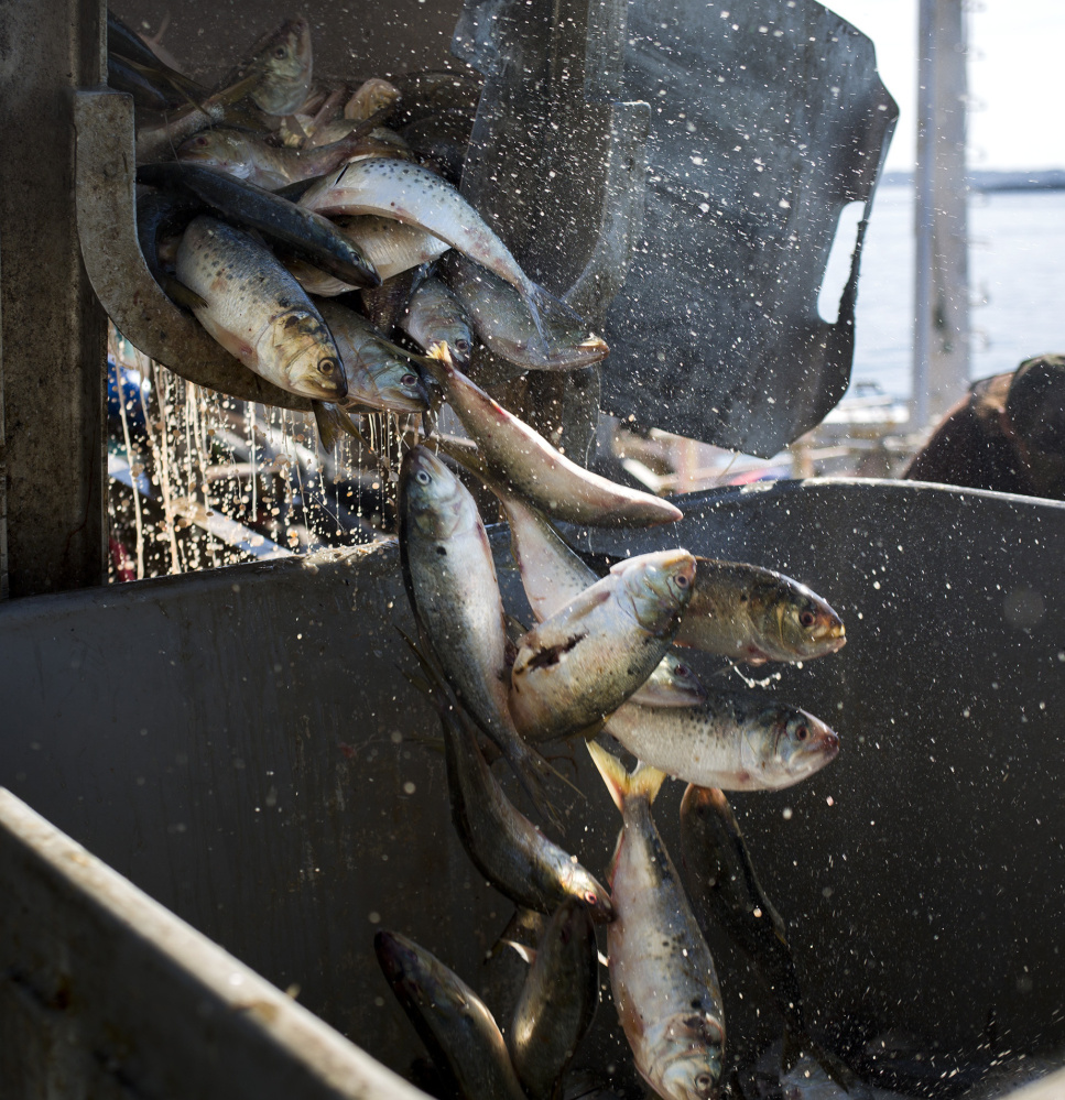 Pogies pour out of a container while being unloaded at Coastal Bait on the Portland waterfront. Atlantic herring is the go-to bait for most lobstermen, but it has been in short supply.