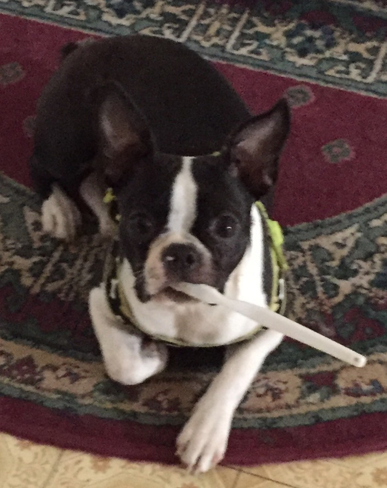 Fergie Rose, a 10-month-old Boston terrier, was killed Tuesday afternoon when it was attacked by three pit bulls on Lucille Avenue in Winslow. Sharron Carey, the dog's owner, was treated for wounds at Inland Hospital in Waterville that she suffered while trying to save the puppy.