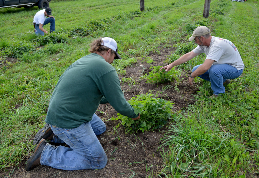Nathan Lattin, left foreground, weeds the hop field at Bigelow Brewing Co. with Bigelow owner Jeff Powers, right, and Colin Hoffman, of Madison, on Tuesday in Skowhegan. Bigelow Brewing is gearing up for the first craft beer festival in Skowhegan this weekend. The festival will feature 20 craft beer and cider companies.
