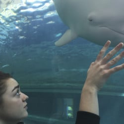 "The Dolphin Project released this photo of 19-year-old Maisie Williams watching Angel, an albino dolphin, at the Taiji Whale Museum in Taiji in central Japan on Friday. The ""Game of Thrones"" actress hopes her influence on social media helps to raise awareness of the plight of dolphins slaughtered in a traditional hunt in Japan."