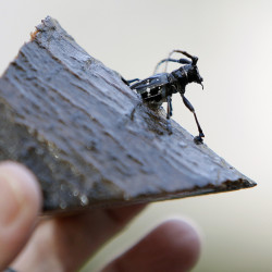 The property owners preserved the remains of an Asian longhorned beetle found in their backyard in Worcester, Mass. The infestation in the city resulted in removal of tens of thousands of trees.