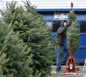 Cody Wolf, an employee at The Forest, a Christmas tree farm in Cornville, prepares a Christmas tree Saturday for a couple who found it and cut it for themselves.