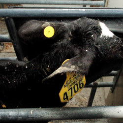 This calf drinks milk that comes from a computerized milk dispenser that has been programmed for each calf at the Aghaloma Farm in Knox on Wednesday. The milk machine reads information from the round computer chip on the calf's left ear.