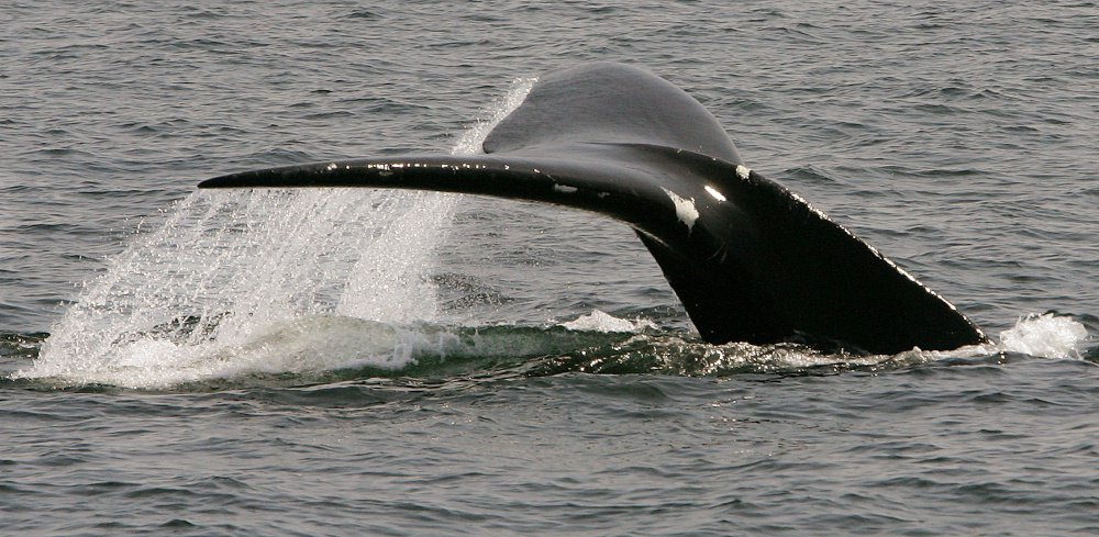 The Endangered Species Act, created to protect animals like the North Atlantic right whale, above, was attacked by Republicans Wednesday in a Senate hearing.