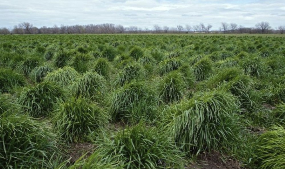 Strands of intermediate wheatgrass, trademarked as Kernza, grow on a plot owned by The Land Institute of Salina, Kan.