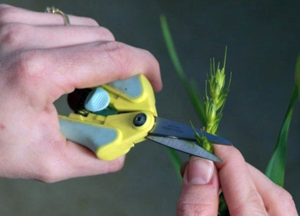 The top of a wheat floret is cut off, giving a technician access to the reproductive parts of the plant.