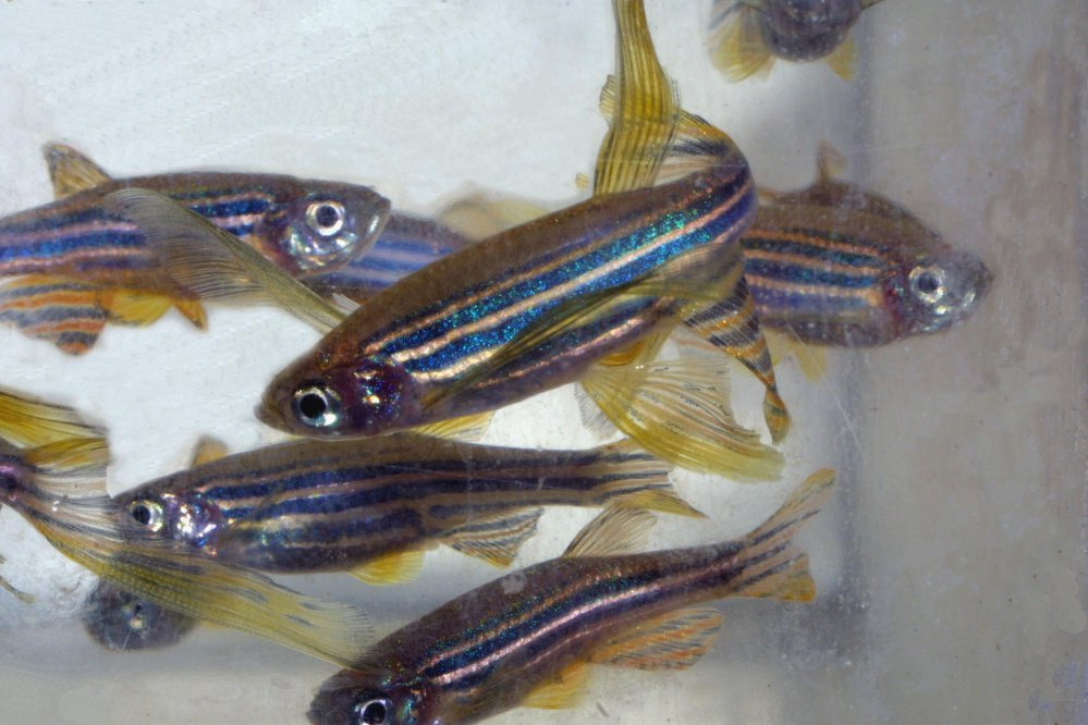 Zebrafish are instrumental in the research.