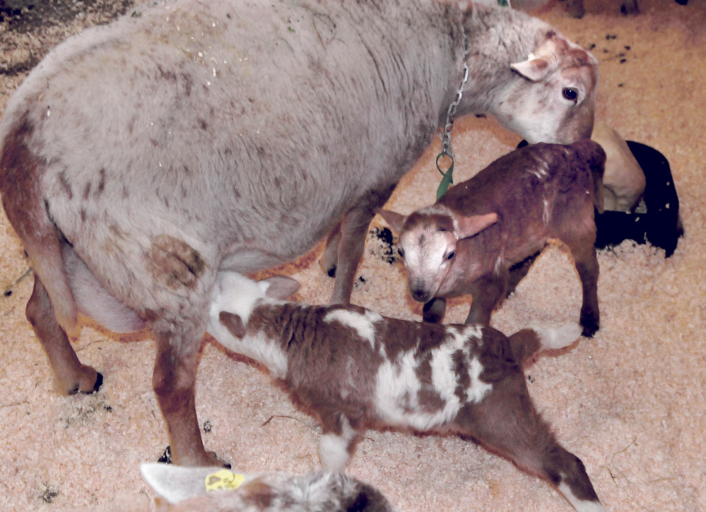 It's always feeding time for these week-old lambs, part of triplets born to a sheep Thursday in a barn at Unity College.
