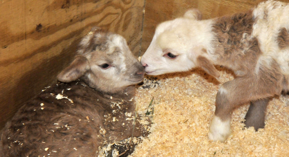 Two week-old Katahdin lambs nuzzle each other in a barn at Unity College on Thursday.