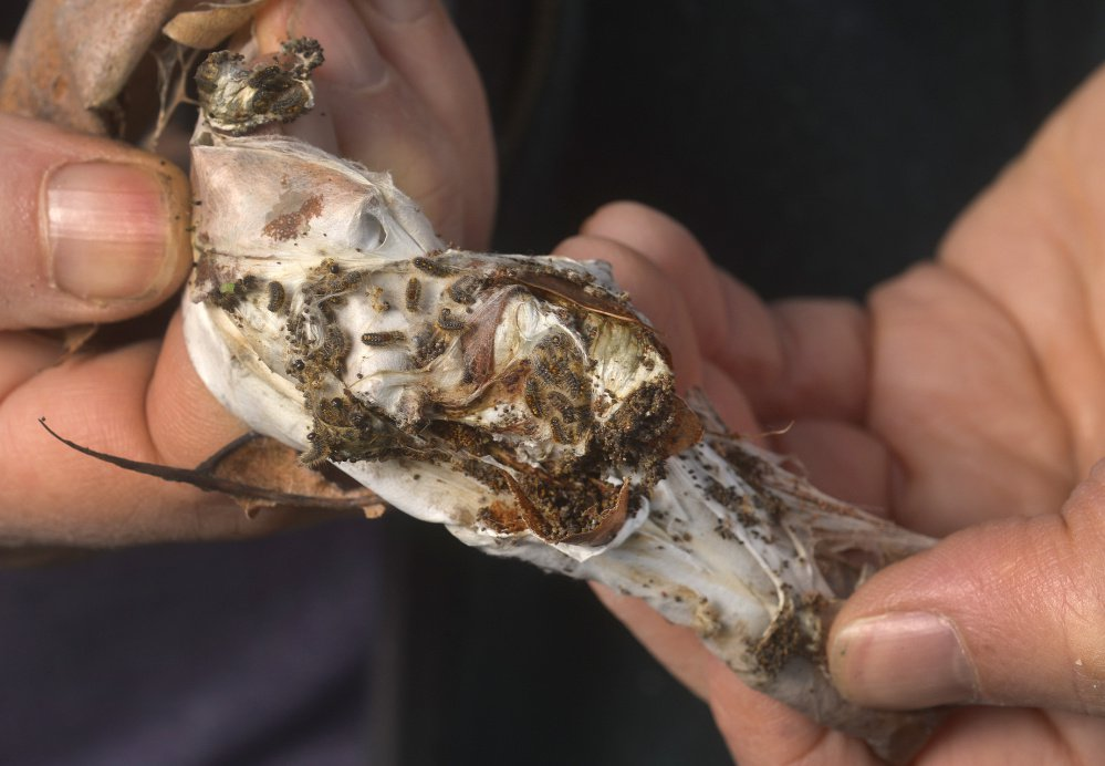 The browntail moth was blamed for defoliating 62,600 acres in Sagadahoc County alone last fall. School officials have decided to attack nests at athletic fields in Freeport with an organic pesticide.