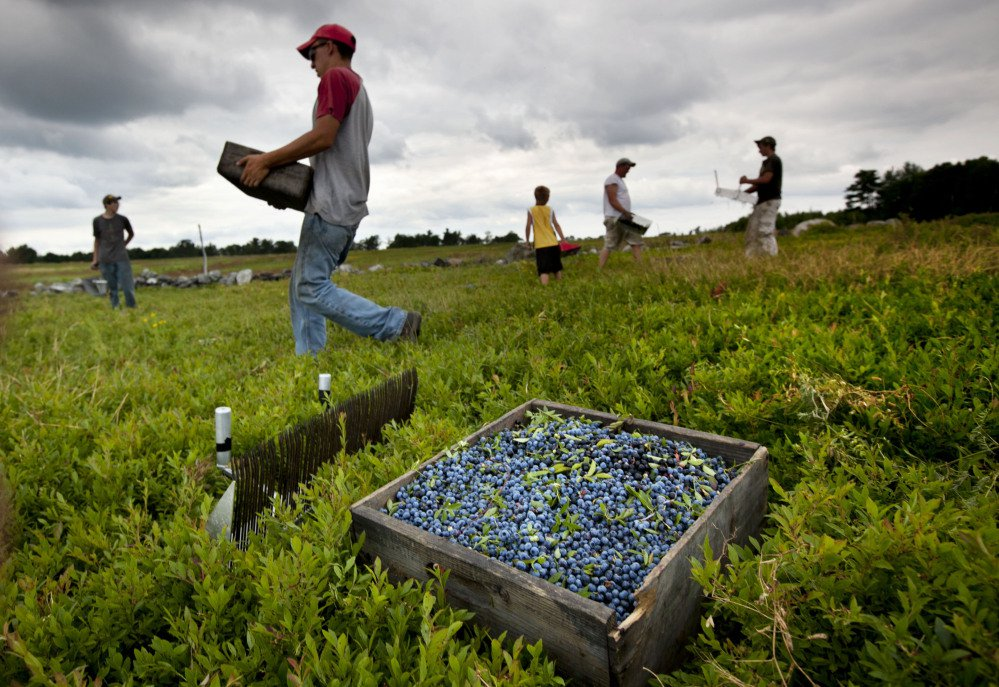 Workers harvest wild blueberries at the Ridgeberry Farm in Appleton in 2012. More school districts nationwide are serving Maine blueberries.