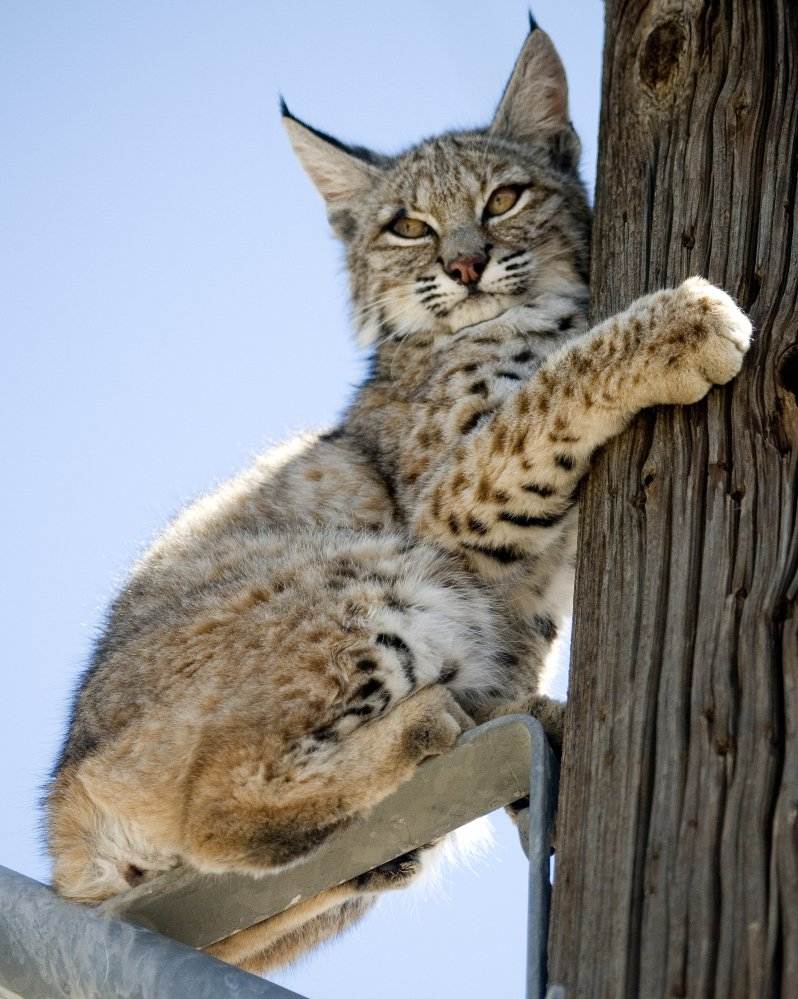 A bobcat perches on a power pole in a residential neighborhood of Victorville, Calif., in 2012. Bobcat numbers have almost tripled nationwide since the 1980s.