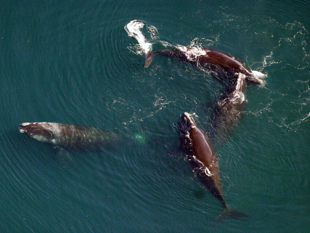 Researchers from the Northeast Fisheries Science Center of the National Oceanic and Atmospheric Administration captured this image of four North Atlantic right whales during a survey.