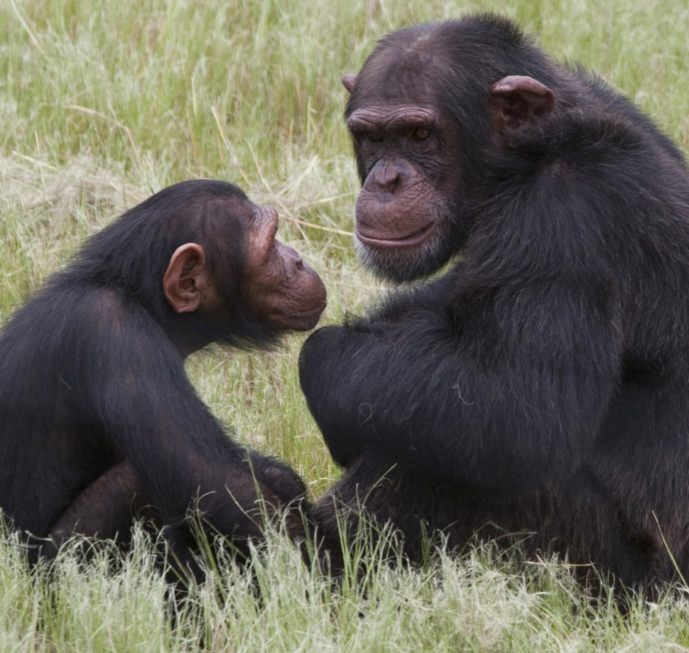 Chimpanzees got their day in court Thursday, but failed to win human legal rights.
