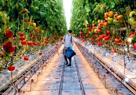 A Backyard Farms employee works in January 2014 in one of the greenhouses at the Madison facility. The Madison tomato grower has been purchased by a Canadian produce company.