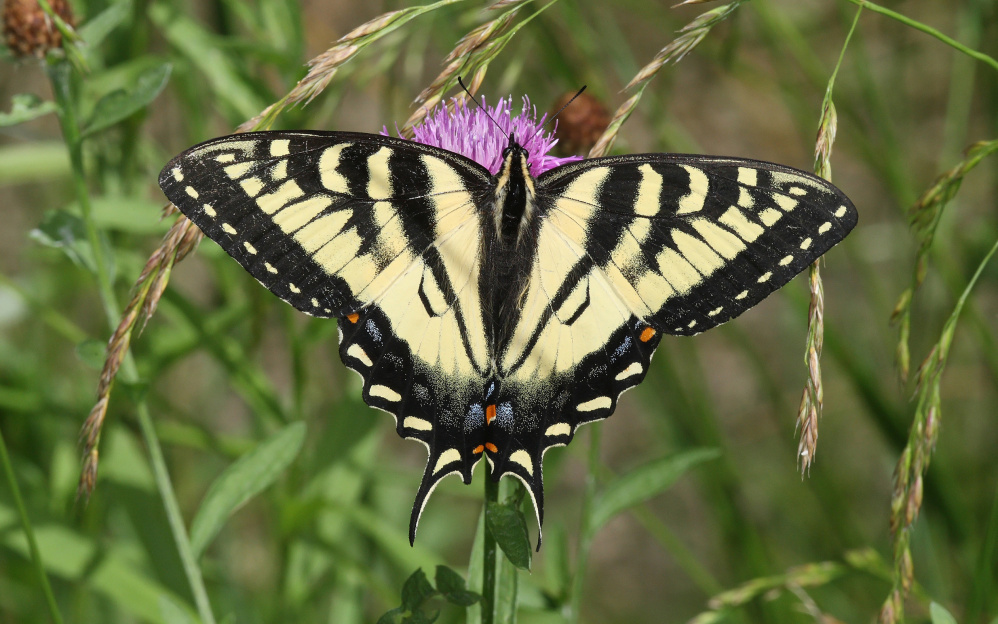 A Canadian tiger swallowtail butterfly in Ontario.