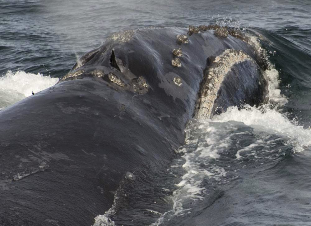 The recently spotted North Pacific right whale swims in the Bering Sea west of Bristol Bay.