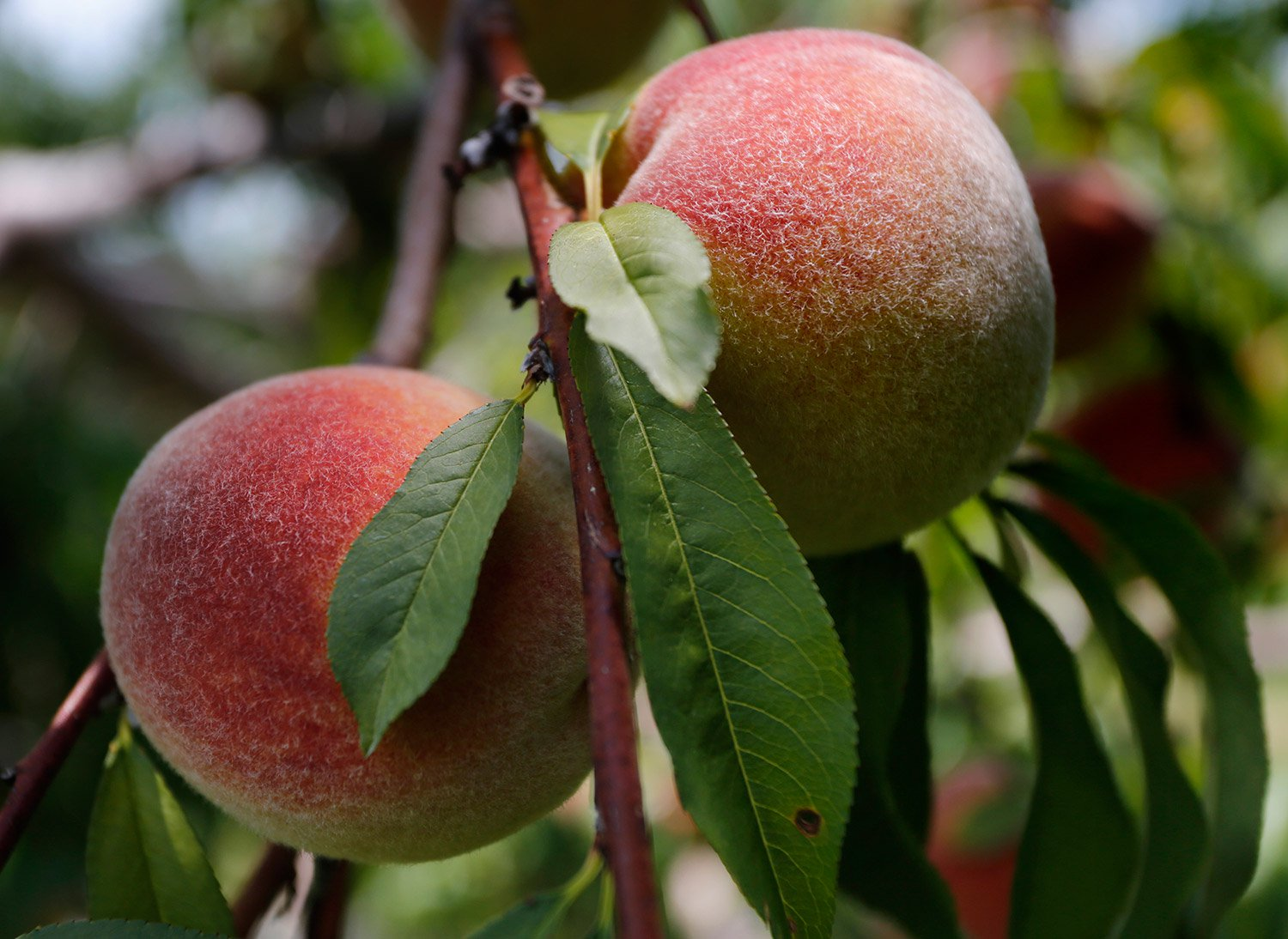at long last a peach of a harvest for growers in maine