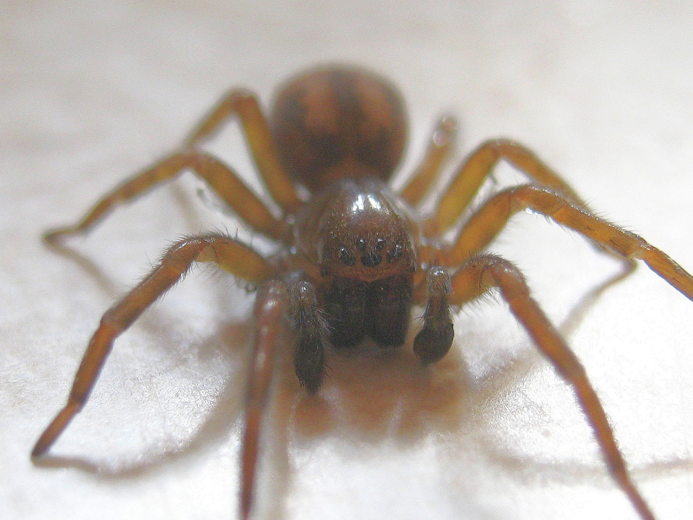 A male hackledmesh weaver, Amaurobius ferox, watches warily from the kitchen counter in Troy.