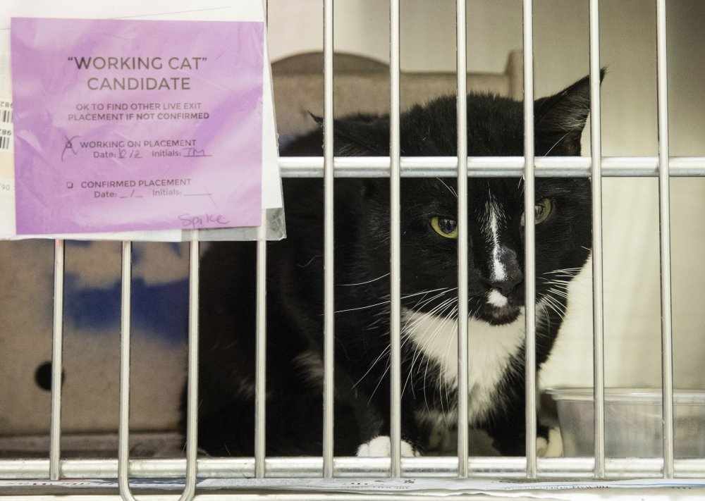 Spike, who is up for adoption as a working cat, looks out from its cage in Philadelphia. The program places cats who have behavioral challenges as workers in barns or stables.