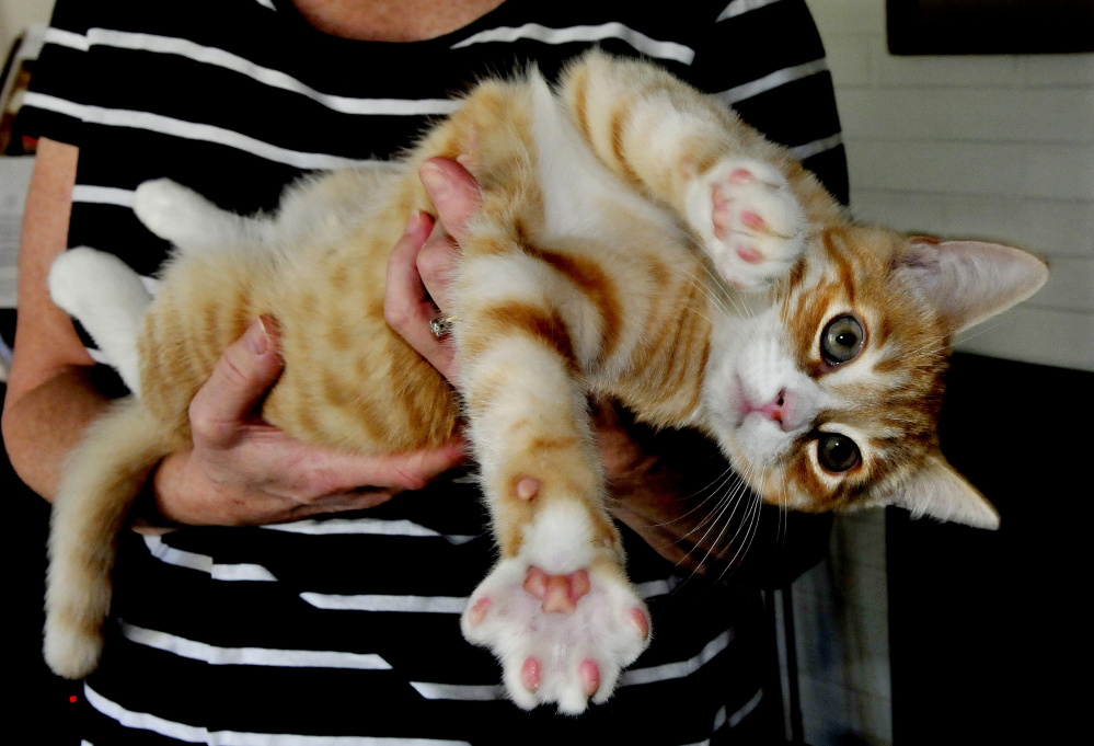 Thurston, the high energy kitten, twists in the arms of owner Amy Calder.