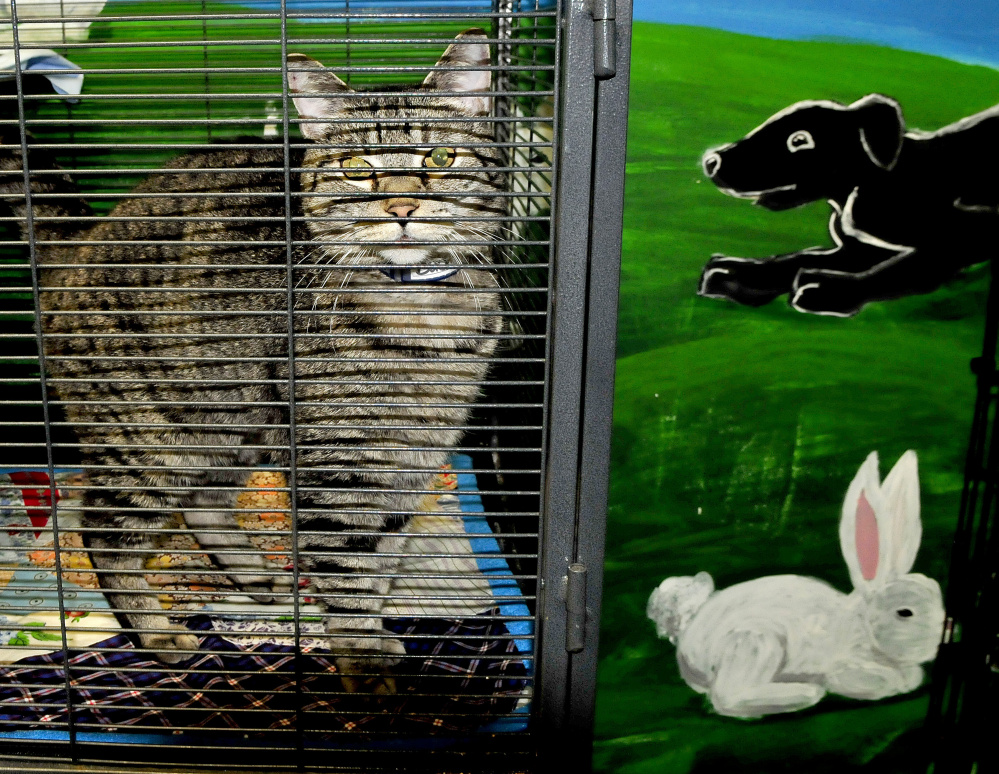 A cat available for adoption looks out from a cage at the Humane Society Waterville Area shelter on Monday. The shelter has re-opened after recovering from an outbreak of distemper that killed approximately three dozen cats.