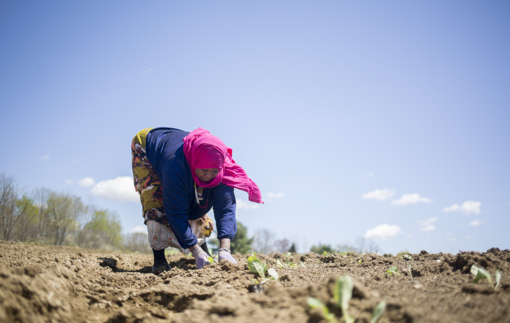 Seynab Ali plants Brussels sprouts at Packard-Littlefield Farm in Lisbon. A federal grant will help provide land access to expand farming in Maine.