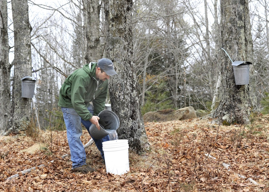 The sap is collected in metal or plastic buckets, though some trees closer to the sugarhouse are connected by plastic tubing to a pump.