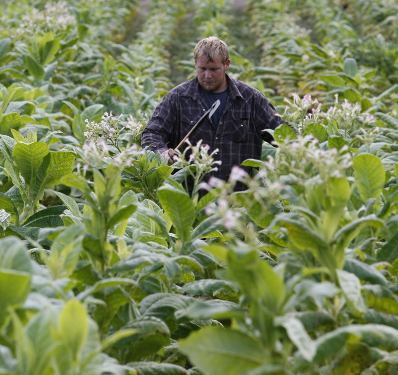 In this 2009 file photo, Clinton Yates uses a tobacco knife to top plants in a field near Sparta, Ky. With the help of science, an age-old cash crop long the focus of public health debates could be used to help solve the nation's energy crisis by genetically modifying the tobacco leaf for use as a biofuel.