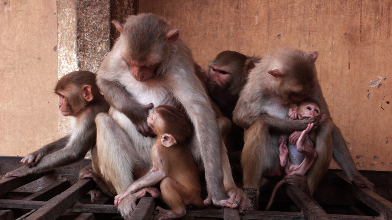 Two baby macaques with mothers and other group members in Jaipur, India, during a filming for National Geographic's Nat Geo Wild. monkeys stealing theives Jaipur India