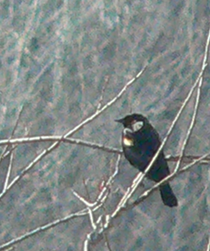 The lack of foliage in early spring makes birds such as this red-winged blackbird easier to spot.