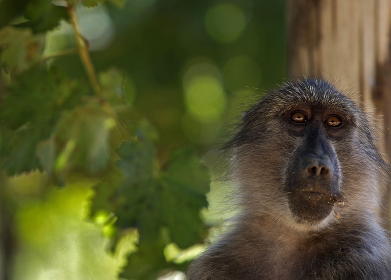 A baboon prowls a vineyard for food at the Constantia Uitsig wine estate on the outskirts of Cape Town, South Africa. Growers say the primates are partial to sweet pinot noir grapes, a variety that earns them more profits.