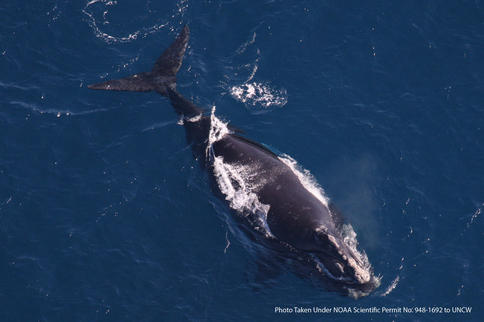 An endangered right whale is photographed while in the process of giving birth in waters near where the Navy plans to establish a submarine warfare training range off of Florida.