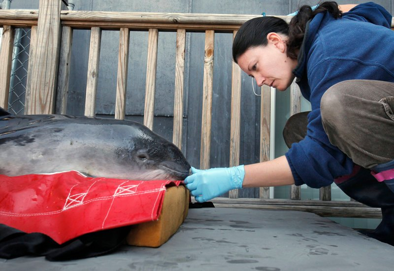 Veterinarian Michele Sims examines a harbor porpoise at the Marine Animal Rehabilitation Center at the University of New England in Biddeford on Thursday. The porpoise was found stranded on Goose Rocks Beach in Kennebunkport on Feb. 26 and is being rehabilitated at the center. Sims provides veterinary services to the center.