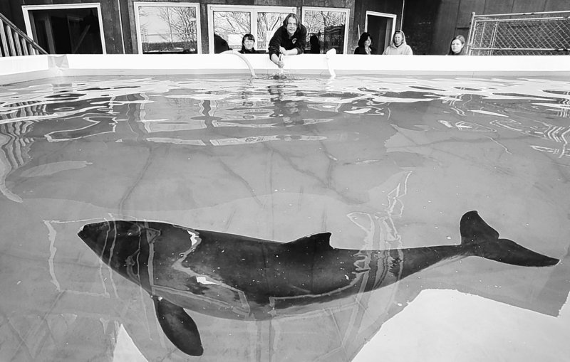 Morgan Lawless, left, and Keith Matassa feed a harbor porpoise at the Marine Animal Rehabilitation Center at the University of New England in Biddeford. Lawless is a college senior studying marine biology and Matassa is the coordinator at the center. The odds are stacked against returning stranded porpoises to the wild, but researchers gather valuable data from them.