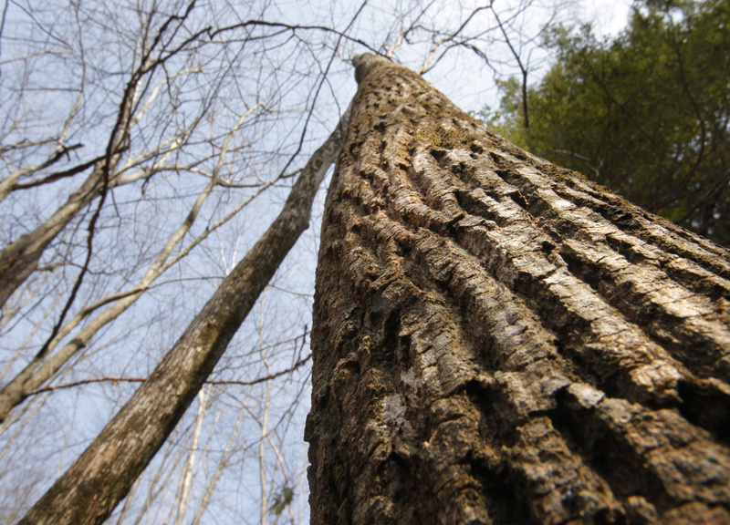 An ash tree stretches toward the sky in an ironwood oak ash woodland on Bradbury Mountain in Pownal. Ecologists Susan Gawler and Andrew Cutko's new book organizes the state's natural areas into categories and helps people to identify the flora and fauna in those habitats.