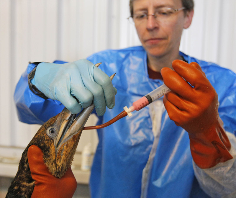 Dr. Erica Miller gives a dose of Pepto-Bismol today to a normally white Northern Gannet bird that is covered in oil from the spill in the Gulf of Mexico. The bird is being treated at the Tri-State Bird Rescue and Research facility in Fort Jackson, La.