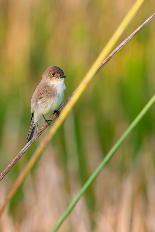 The eastern phoebe likes to have several perches within its nesting territory. They find beetles delicious – also wasps, ants, grasshoppers and flies – and make doting parents.