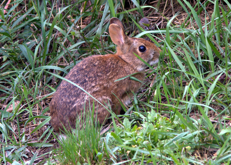 New England cottontails emerge a few feet from their thickets at dawn to feed in areas around Crescent State Beach in Cape Elizabeth.