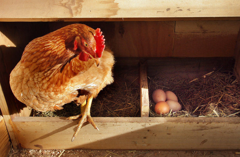 A hen climbs out of a nesting box in a backyard coop in South Portland. Participants in this weekend's Local & Sustainable Food Conference – whose theme is building urban-rural alliances – will have a chance to learn about raising poultry at home.