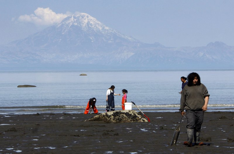 People dig for razor clams on the beach of Ninilchik, Alaska, as Mount Redoubt vents steam on the other side of Cook Inlet last May. Scientists said Monday that a series of small, repetitive earthquakes near the summit could be a sign that the volcano near Anchorage is reawakening after being quiet for months.