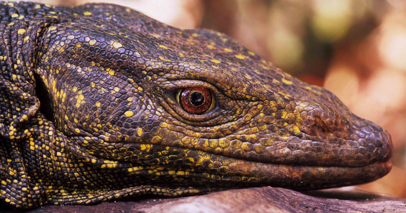 A golden-spotted monitor lizard was first found in the Sierra Madre mountains in the Philippines in 2004.