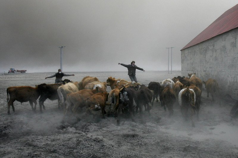 Farmers team up to rescue cattle from exposure to toxic volcanic ash at a farm in Nupur, Iceland, as the volcano in southern Iceland's Eyjafjallajokull glacier continues to send ash into the air Saturday. Fluoride in the ash can cause bone damage.