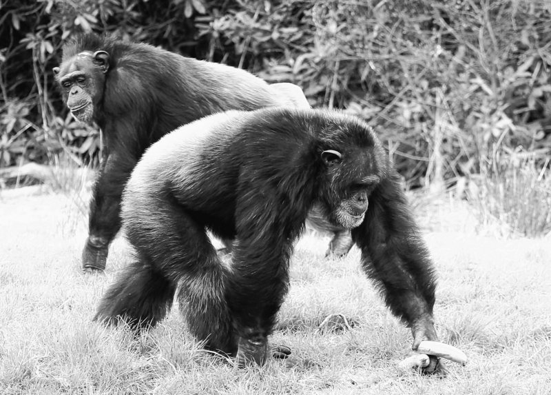 Chippy, right, and Rosie are two of the chimpanzees studied at a wildlife park in Scotland. In the research project, the animals appeared to comfort a terminally ill chimp in the hours before she died. One researcher said zookeepers ought to re-evaluate the practice of removing critically ill animals from a group, to allow a sense of closure when one dies.