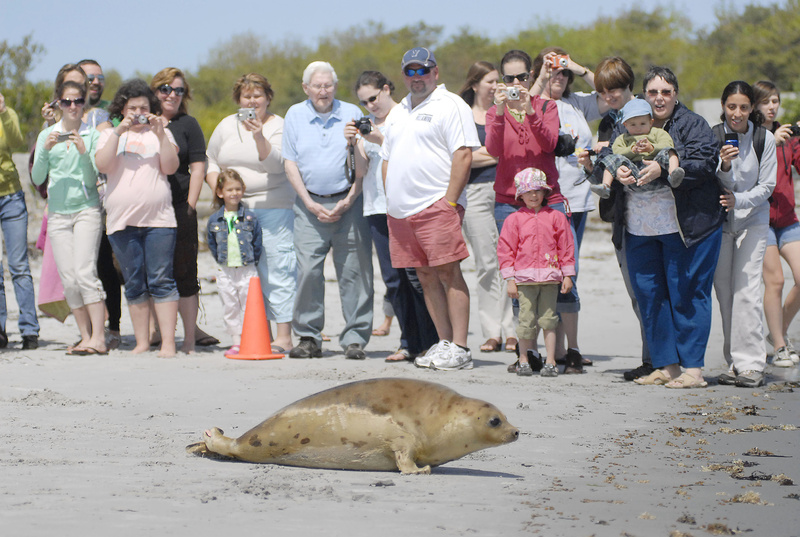 Curious people from up and down the beach gather to watch the seals head for the water. Washington, one of two juveniles released, turned out to be a crowd pleaser.