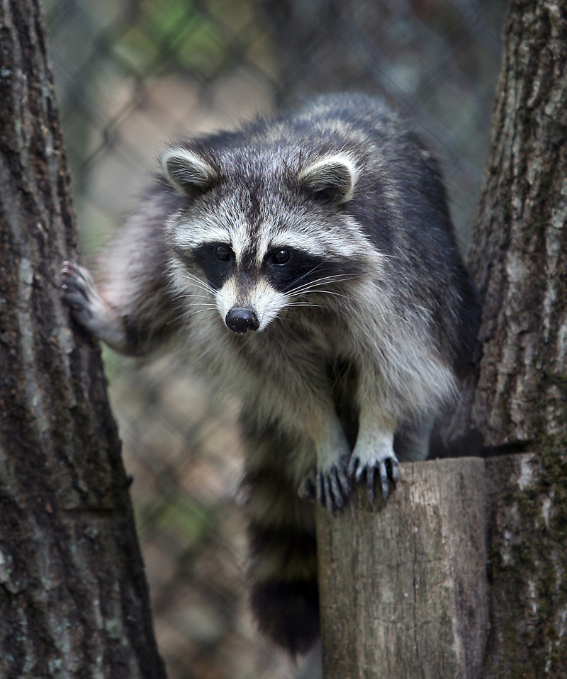 A raccoon rests between two trees along the new small mammal exhibit trail at the Maine Wildlife Park.